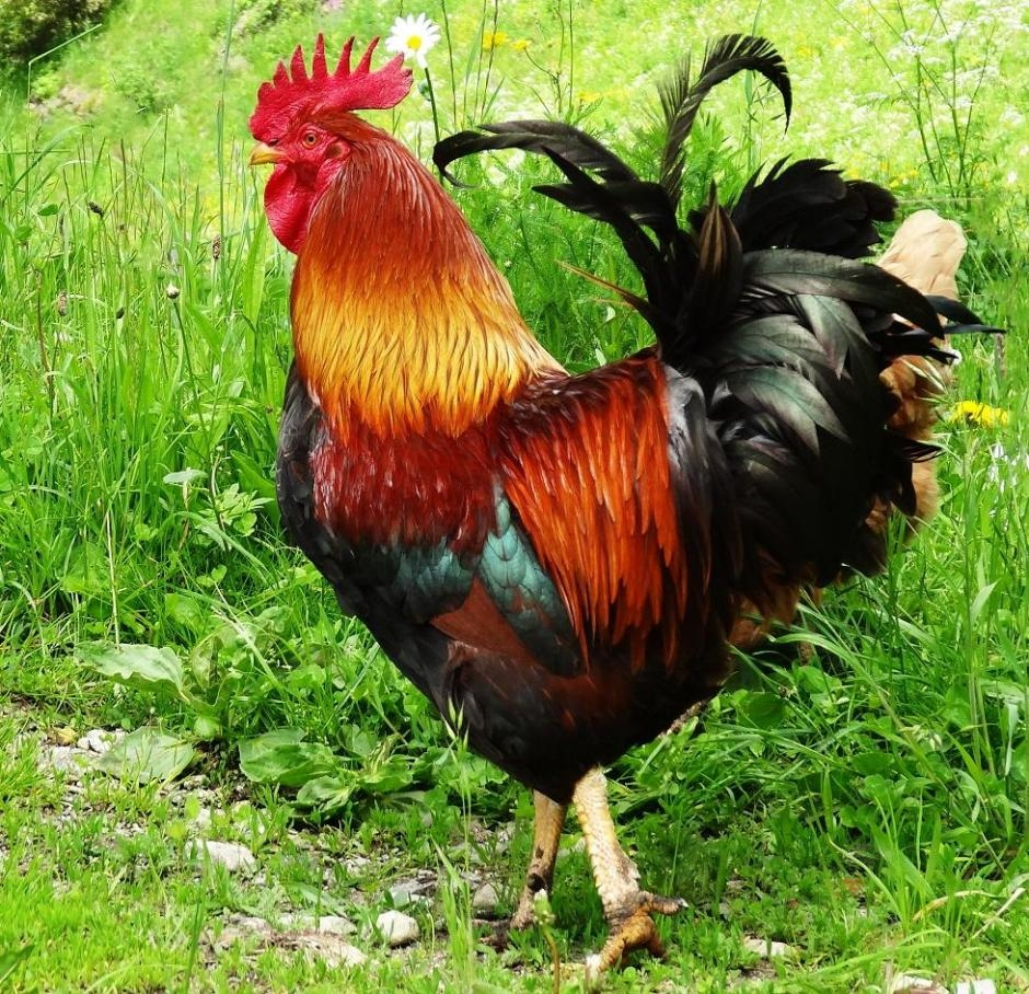 BAZI ROOSTER 22459545[2]