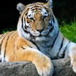 Febbraio -2018 Tigre di Legno Yang